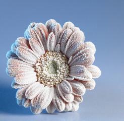 iced gerbera flower