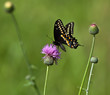 Black Swallowtail butterfly (Papilio polyxenes) on Thistle