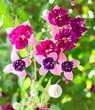 Fuschias violets