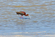 Ibis in the water