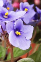 Bright saintpaulia, close up