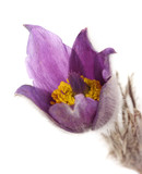 Purple pasque flowers, isolated on white