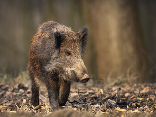 wild boar in the wood