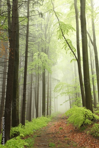 Fotobehang Bos in mist coniferous and deciduous trees surrounded in the spring forest