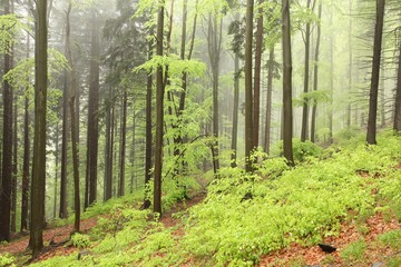 Mixed forest on the mountain slope on a rainy day in early May