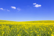 Blooming yellow field under blue sky in Poland