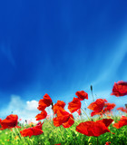 poppy flowers and sunny day - Fine Art prints
