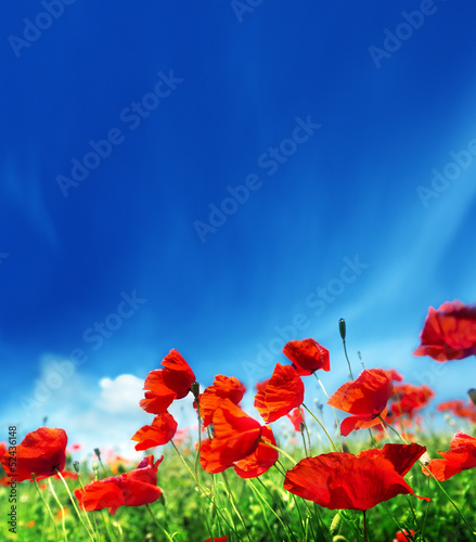 poppy flowers and sunny day
