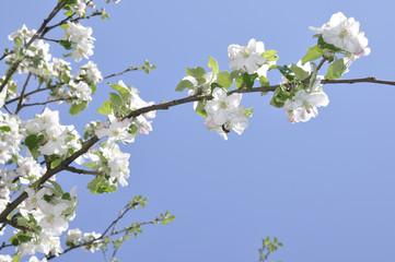 Aple flower