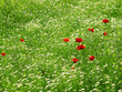 Field of poppys and wild flowers