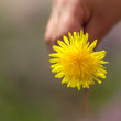 One dandelion held by a kid,s hand. Spring time wild flower.
