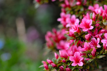 Azalea blooming pink and purple spring flowers. Gardening
