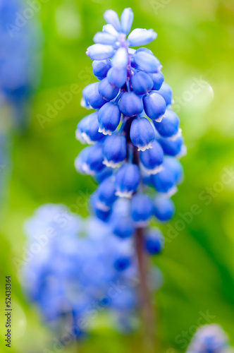 Grape Hyacinth muscari. Blue grape  like spring wild flowers.