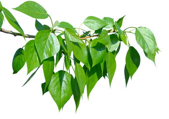 Green poplar leaves isolated