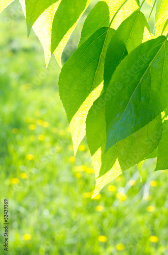 Green poplar leaves on defocused background