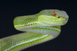 Chinese green tree viper / Trimeresurus stejnegeri