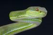 Chinese green tree viper / Trimeresurus stejnegeri