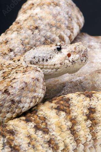 Rock rattlesnake / Crotalus mitchellii pyrrhus