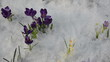 various color saffron crocus flower blooms snow spring