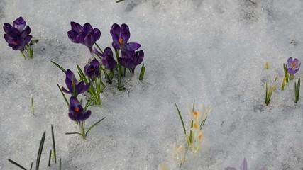 various color saffron crocus flower blooms snow spring
