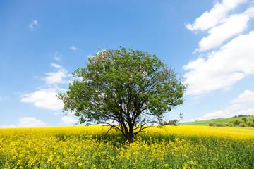 Lone ree in yellow rapeseed field
