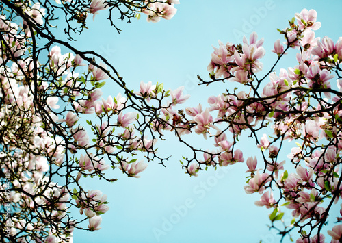 Plexiglas Magnolia Magnolien