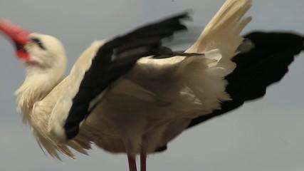 Klappernder Storch