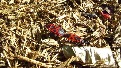 Two bugs creep on a dry grass
