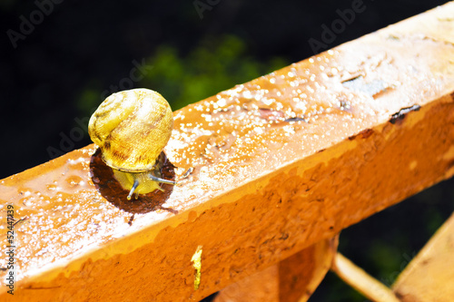 Snail crawls after rain in the yard