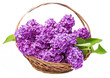 lilac in a basket isolated on a white background