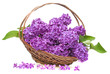 pink lilac in a basket isolated on a white background