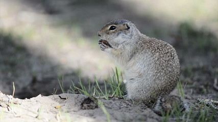 Gopher eating hazelnut