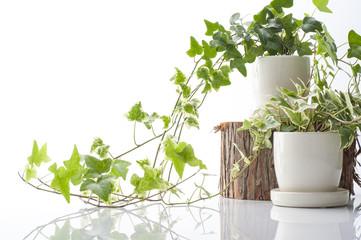 白背景に鉢植えのアイビー
