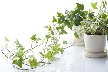 白背景にツタの鉢植え