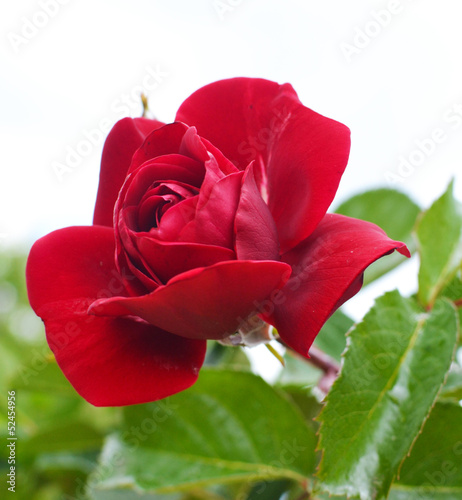 Rose on a background of green leaves