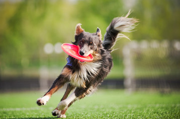 border collie dog brings the flying disc