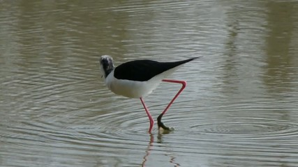Black-winged Stilt. Cavaliere d'Italia