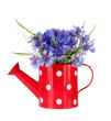 Bouquet of cornflowers in watering can, isolated on white