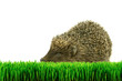 Hedgehog on the grass isolated