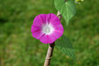 Single deep pink morning glory flower (Ipomoea purpurea)