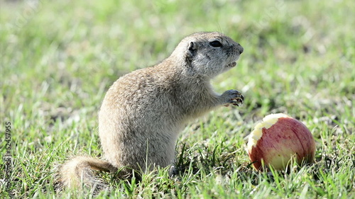 Gopher eating apple