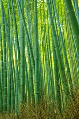 BAMBOO youngling 若い竹林