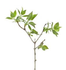 Lilac (Syringa vulgaris) twig isolated on white background