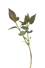 Lilac (Syringa vulgaris) plant isolated on white background
