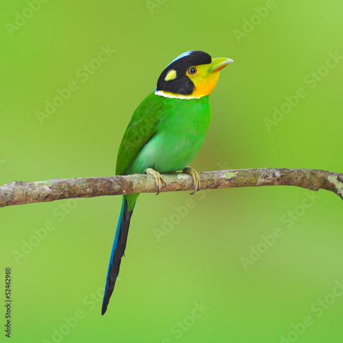 long-tailed broadbilll bird