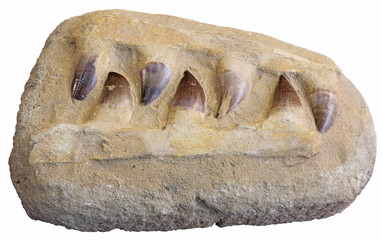 Fossil teeth mosasaur