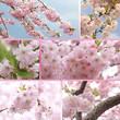 Collage - Kirschblüten