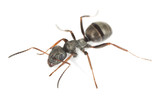 Black ant isolated on white background, extreme close-up
