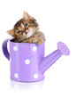 Small kitten sitting in watering can isolated on white