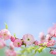 Pink flower of an Oriental cherry in a spring garden